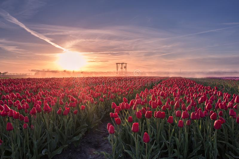 Red tulips farm landscape with sprinkler system other perspective stock photos