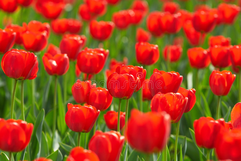 Download Red tulips field stock photo. Image of backgrounds, freshness - 2306214