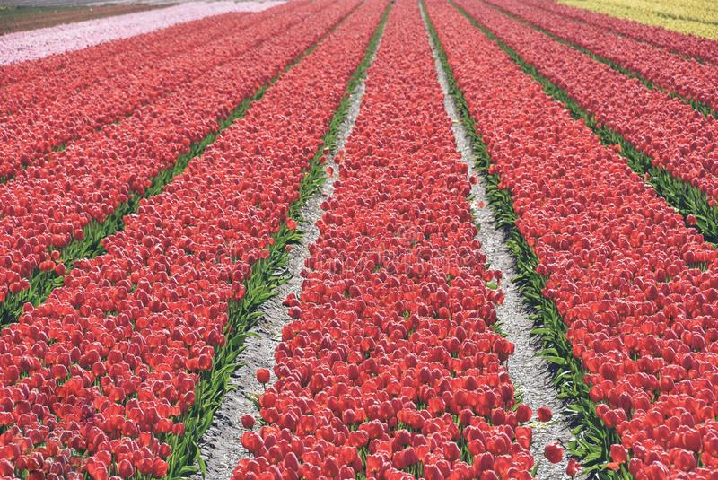 red tulips in a field. These flowers were shot in Holland the Netherlands stock photography