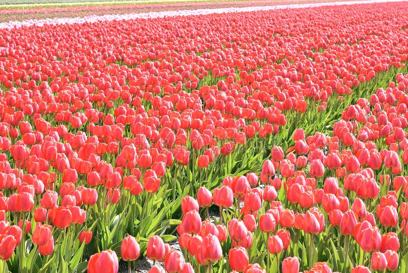 Red tulips in a field. These flowers were shot in Holland the Netherlands stock image