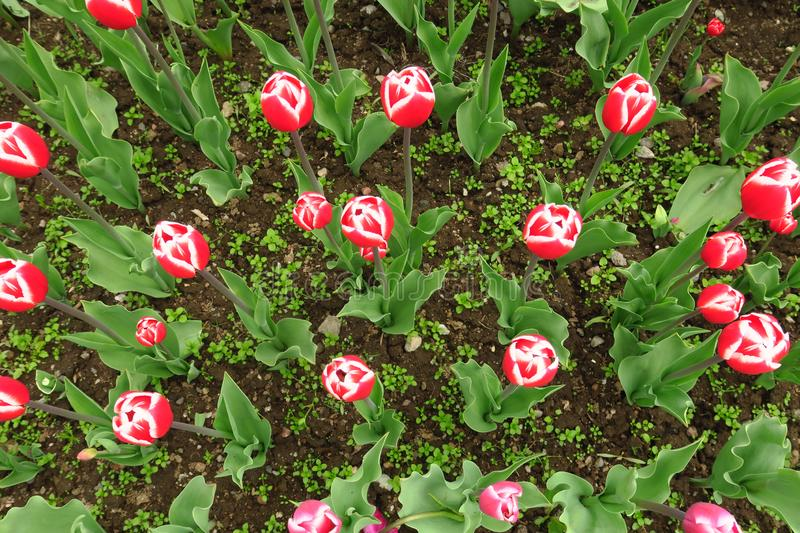 Red tulips field in Netherlands. Red tulip fields. Red tulips view. Red tulip fields in Holland royalty free stock image