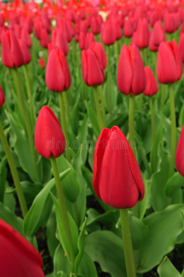 Red tulips field in Netherlands. Red tulip fields. Red tulips view. Red tulip fields in Holland royalty free stock photography