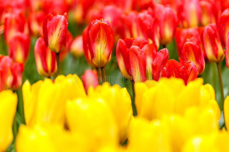 Red tulips flower bed with yellow tulips foreground in the park stock photography