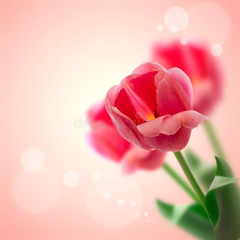 Red tulips flowers on beautiful background. stock photo