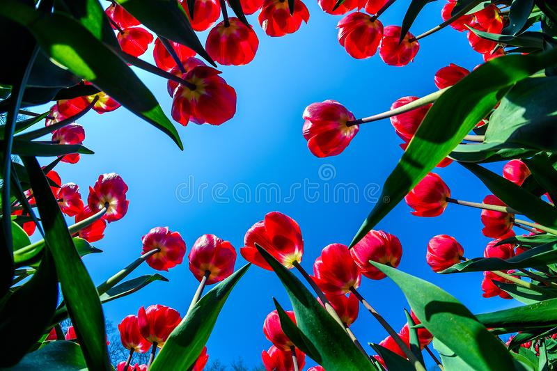 Red tulips flowers field close up in Holland , spring time flowers in Keukenhof royalty free stock photo