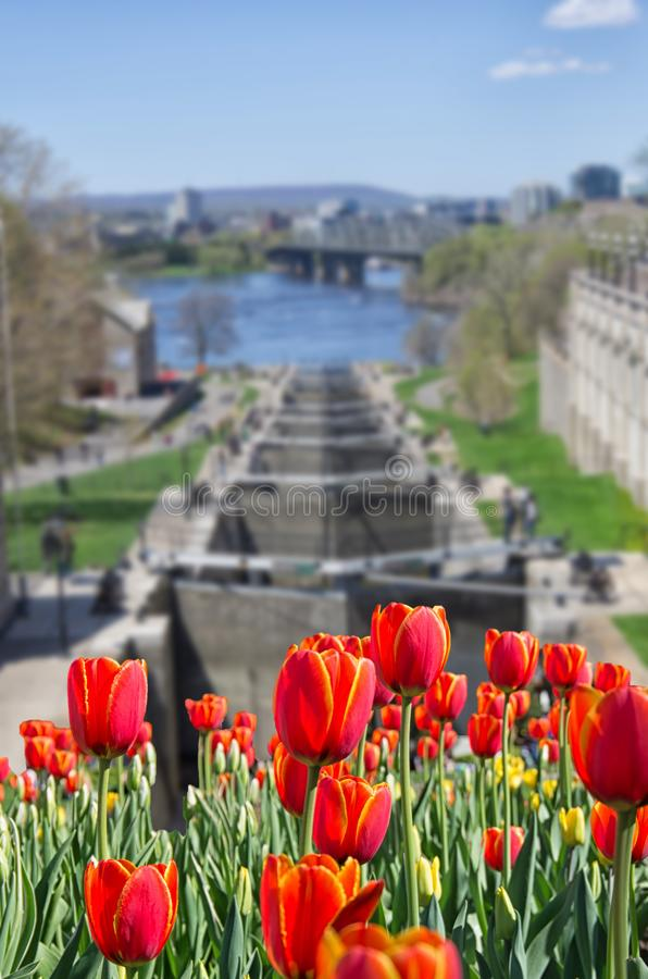 Red tulips flowers in front of Ottawa locks station royalty free stock photo