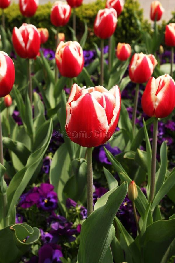 Red tulips flowers in garden stock images