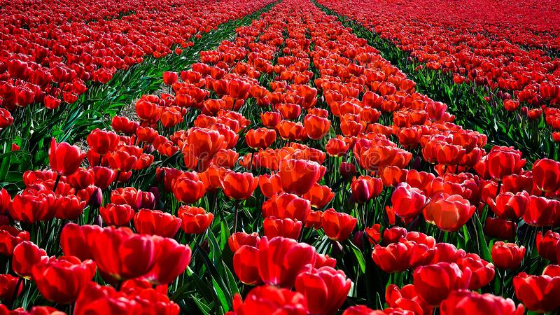 Red tulips flowers landscape in Netherlands , spring time flowers in Keukenhof royalty free stock photography