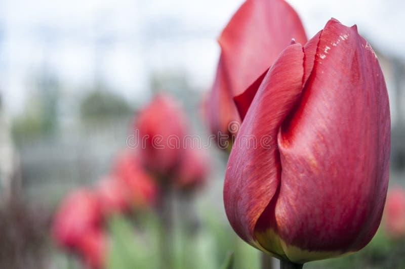 Tulips. stock photos