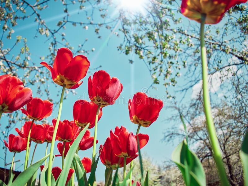 Red tulips in the garden on the background of branches of a blossoming apple tree: spring time concept royalty free stock photo
