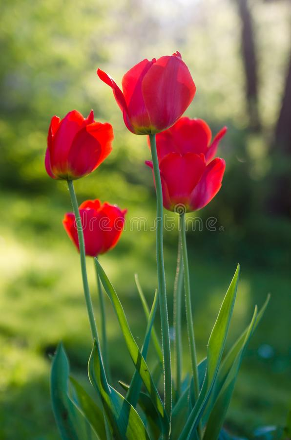 Red tulips in the garden, backlight royalty free stock images