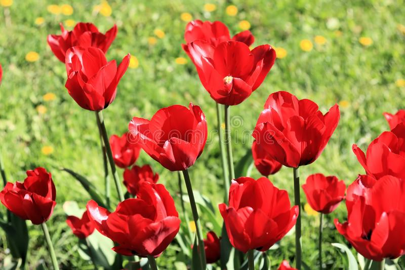Red tulips, grass and dandelions stock images