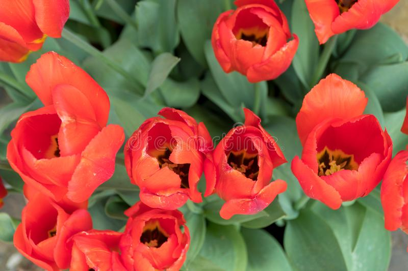 Red tulips on a green background. Red tulips on a green leafed background stock image