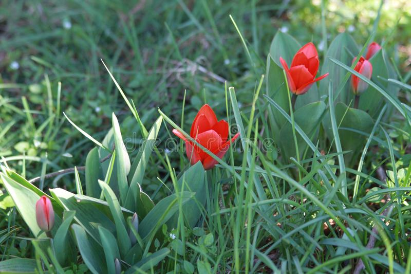 Red tulips on a green background royalty free stock image