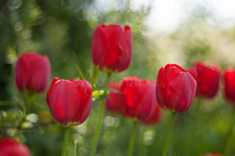 Red tulips on green blur background. stock image