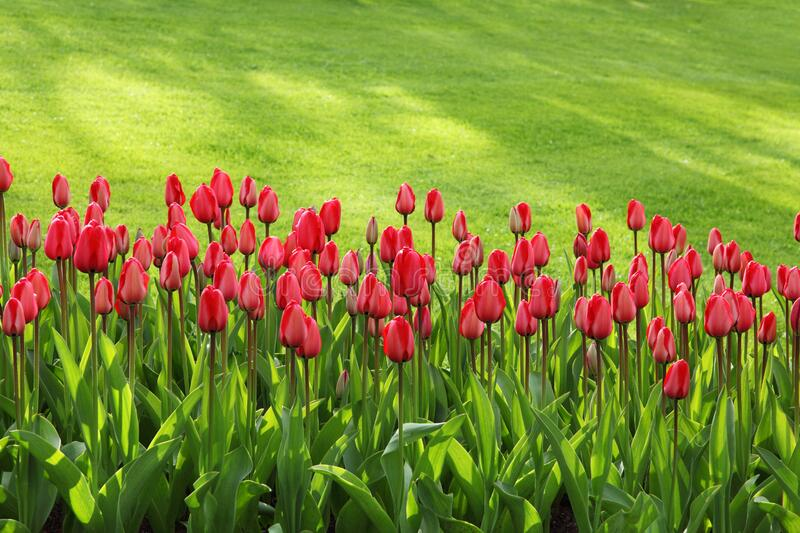 Red Tulips on Green Grass Field royalty free stock image