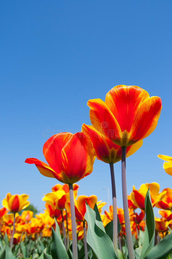Download Red Tulips in Holland stock image. Image of bright, holland - 22822651