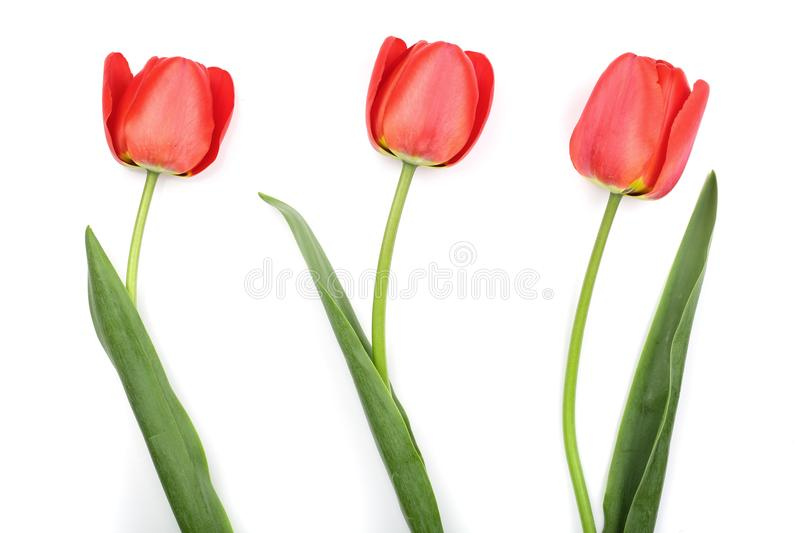 Red tulips isolated on white background. Top view. Flat lay pattern.  royalty free stock images