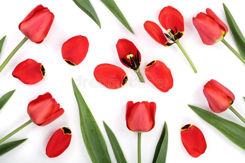 Red tulips isolated on white background. Top view. Flat lay pattern.  stock image