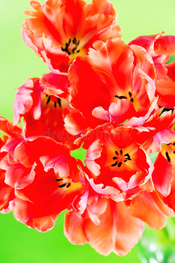 Free Red Tulips On Green Stock Photography - 18814092