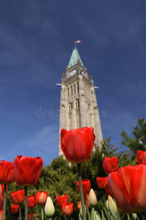 Red Tulips - Peace Tower