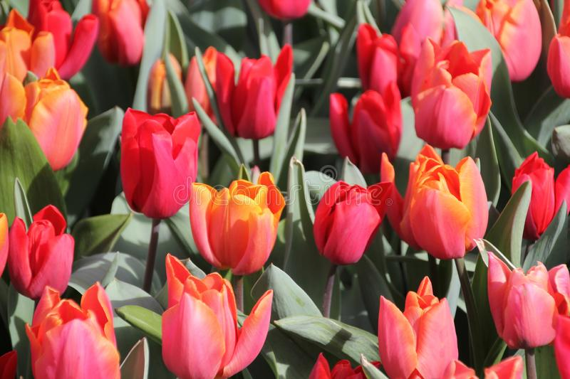 Red tulips 02 stock images