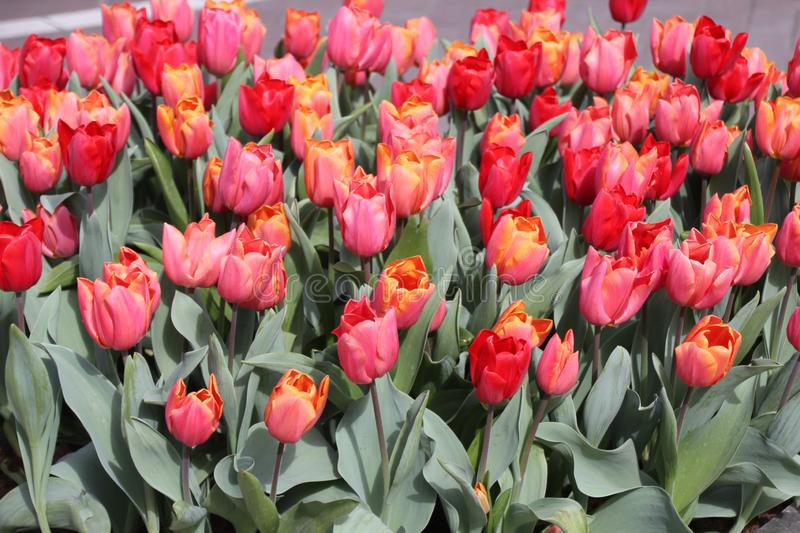 Red tulips 01 royalty free stock images