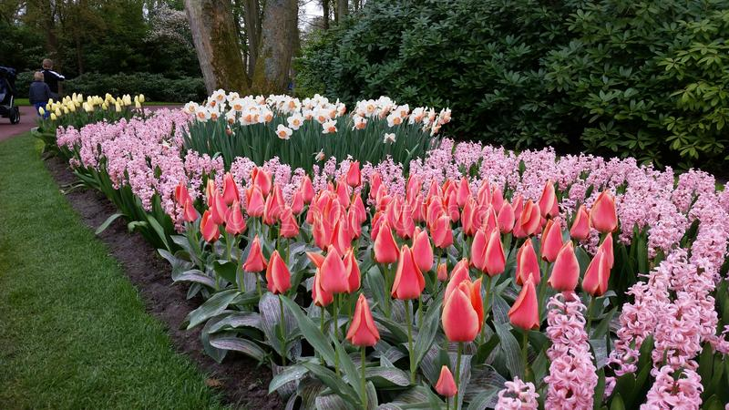 Red tulips, pink Hyacinthus and yellow and orange Narcissus stock images