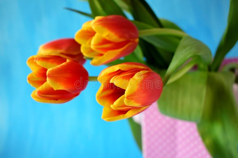 Red tulips in a present bag stock image