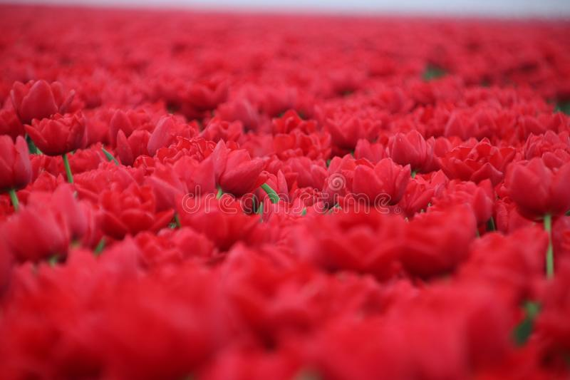 Red tulips in rows on  a flowerbulb field in Nieuwe-Tonge in the netherlands during springtime season and fog. Red tulips in rows on a flowerbulb field in Nieuwe royalty free stock images