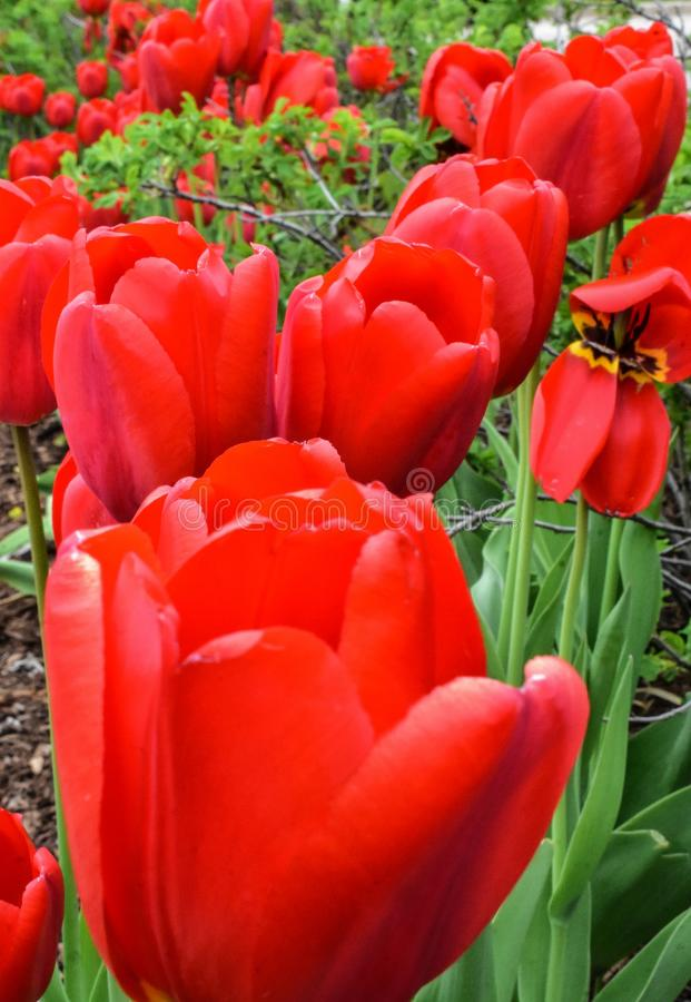 Red Tulips in Small Garden royalty free stock images