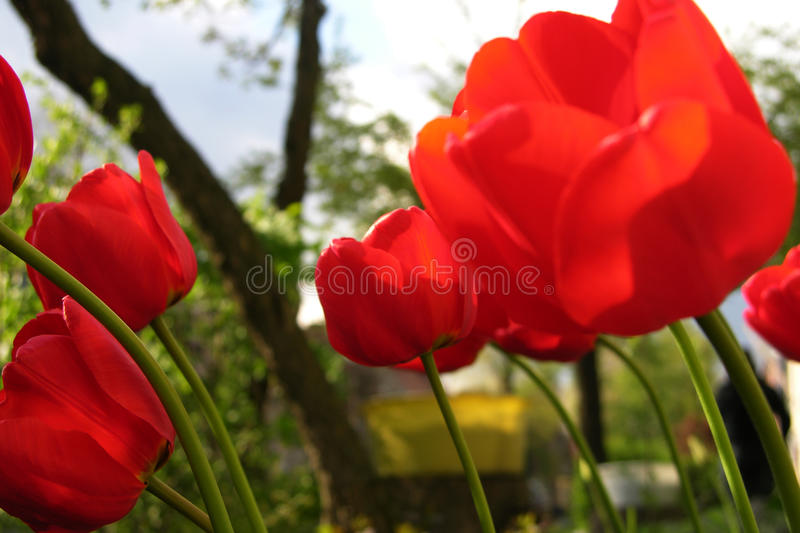 Red tulips in spring royalty free stock image