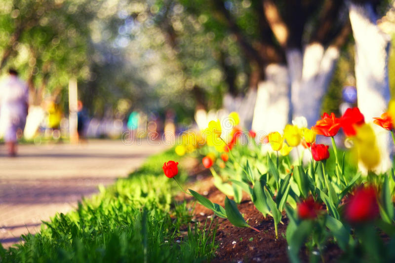 Red tulips in spring city. Alley stock photo