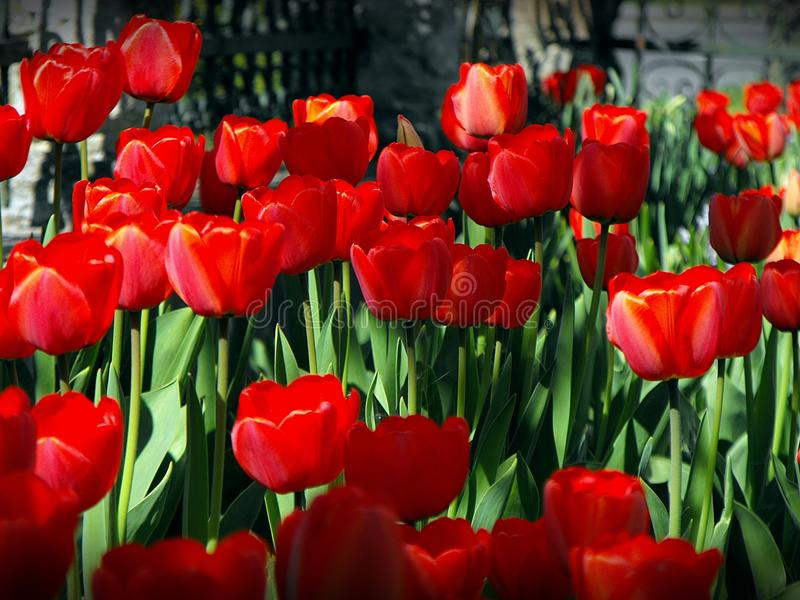 Red tulips in the spring. stock photo