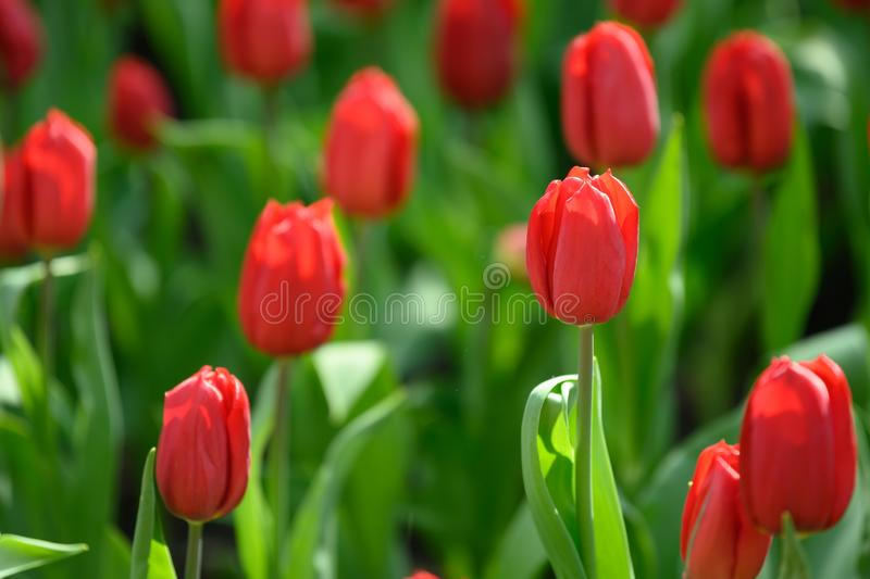 Red tulips `Strong Love` in Flowerbed, flowering red tulips in spring royalty free stock photo