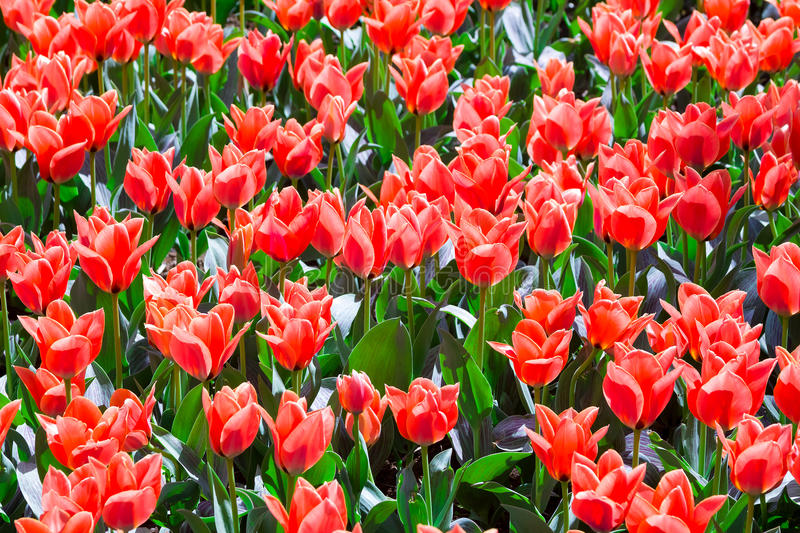 Red tulips on a Sunny day. Festive floral background. stock photo