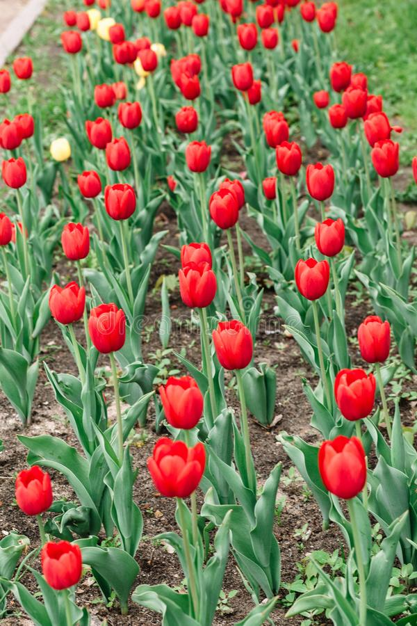 Red tulips top view on a blooming flower bed royalty free stock photography