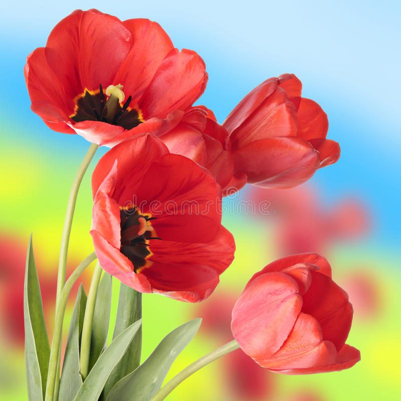 Red tulips. Red tulip flowers on a field royalty free stock image