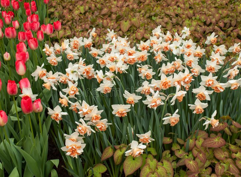Red tulips and white daffodils, one of the symbols of spring. royalty free stock photos