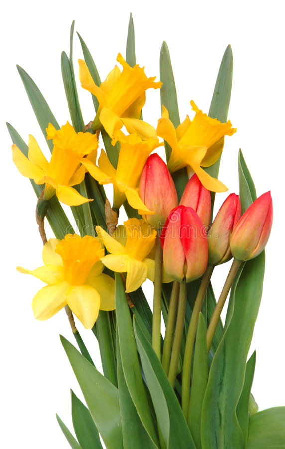 Red tulips and yellow narcissus royalty free stock photo