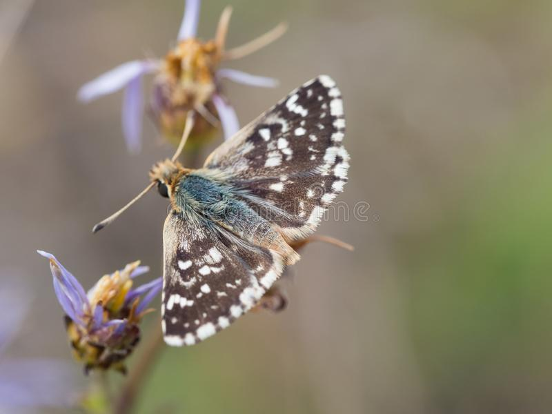 Red-underwing skipper butterfly sitting on a flower stock photo