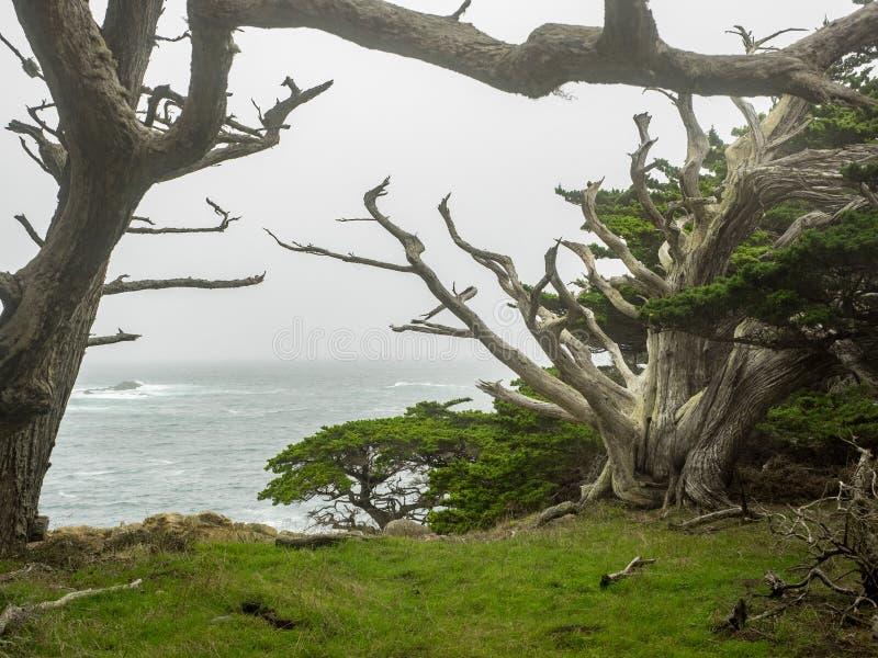 Red ut Monterey cypressträd på kusten royaltyfri fotografi