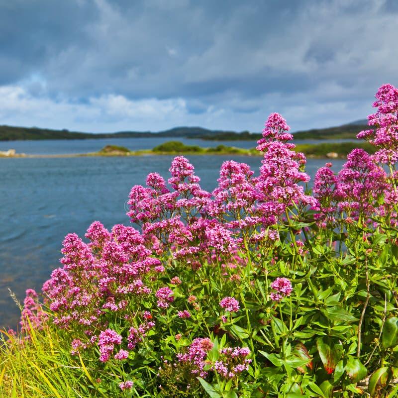 Download Red valerian stock photo. Image of coastal, ireland, irish - 21032824