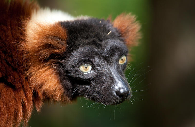 Red vari. Which is a lemur species originally from Madagascar royalty free stock photography