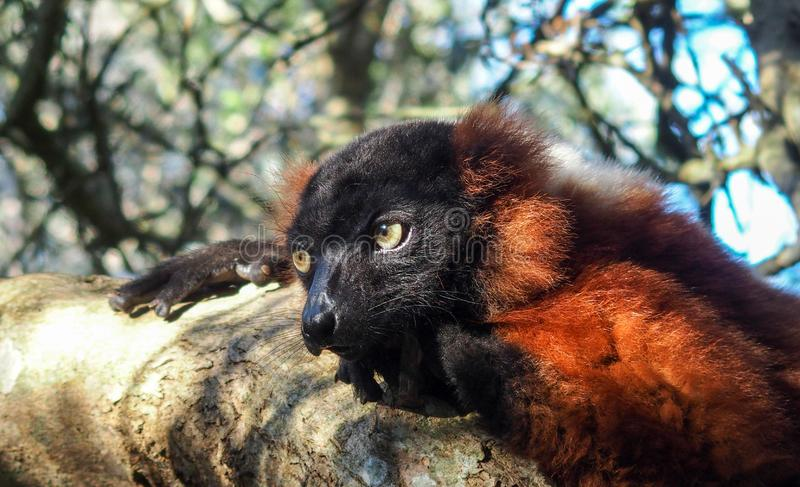 Red Vari Lemur. Sad eyes of the beautiful Red Vari Lemur which is resting on the tree stock images