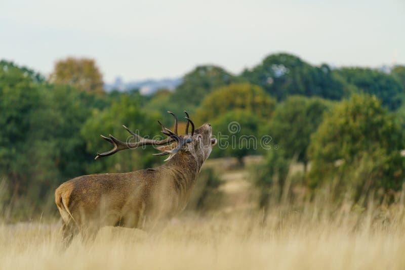 Red veer stag(Cervus elaphus), levado no Reino Unido imagem de stock