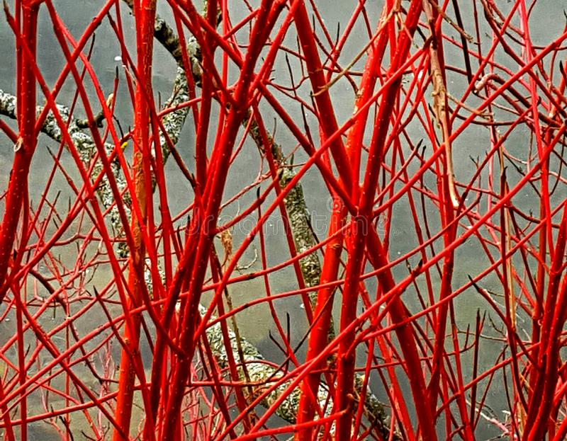 Red branches in fall, autumn ambiance. stock photography