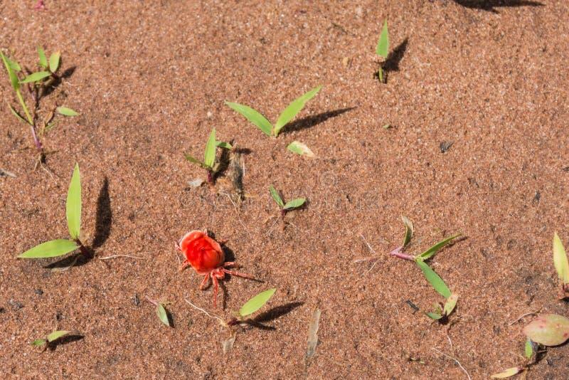 Red Velvet Mite. Photograph of a red velvet mite taken at Matusadona National Park in Zimbabwe royalty free stock photo