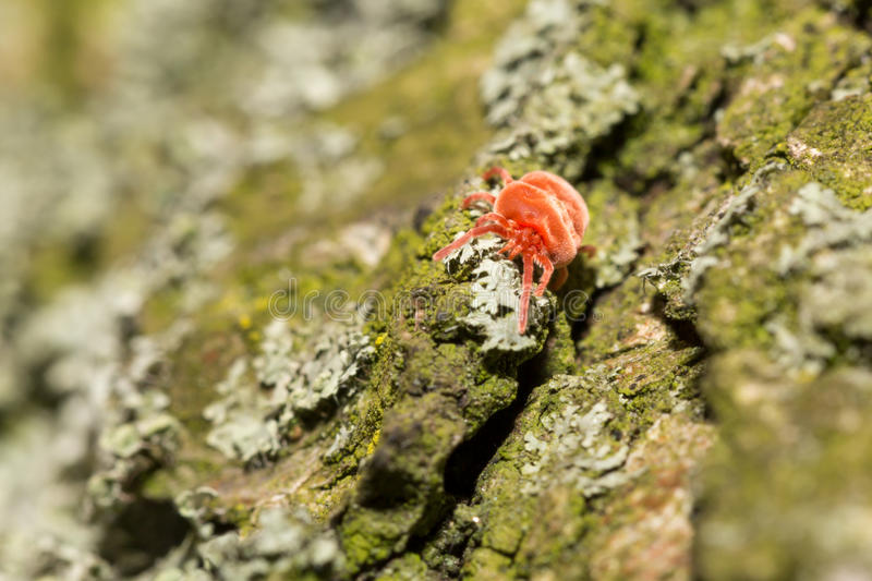 Red velvet mite on tree. Bark with lichens stock photography