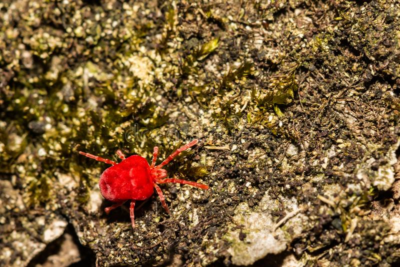 Red Velvet Mite Trombidium holosericeum. A close up of a Red Velvet Mite foraging on a log during spring royalty free stock photo
